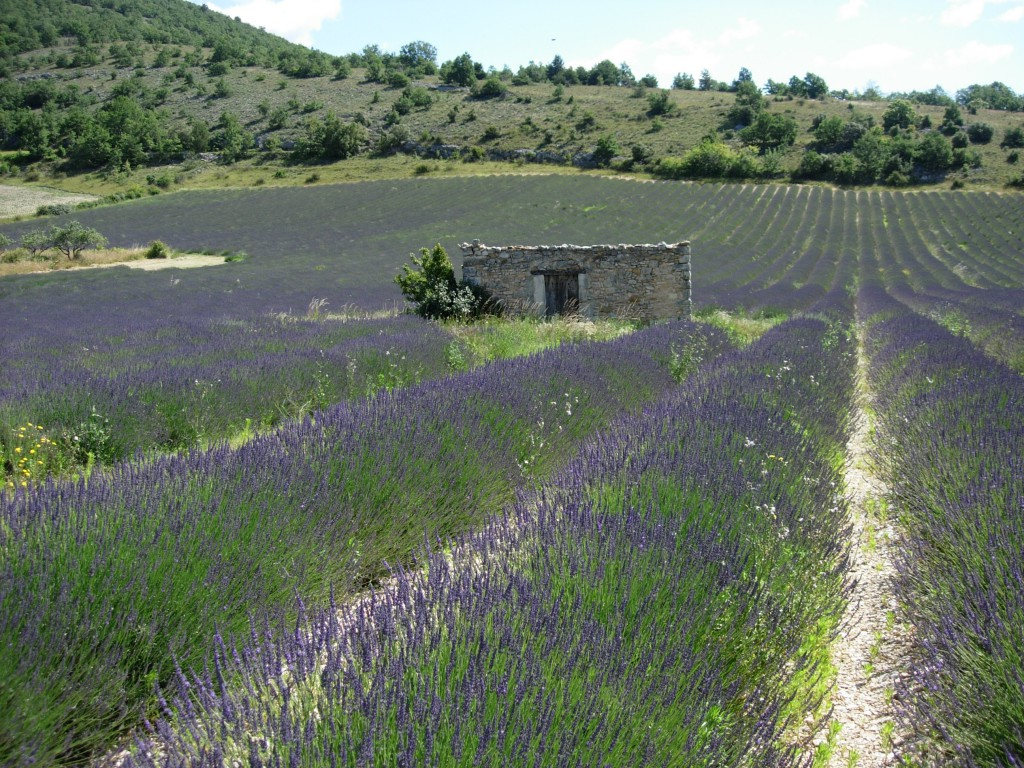 Lavendel mit Bienen