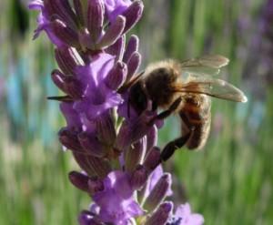 Honigbiene kennt ihre Talente